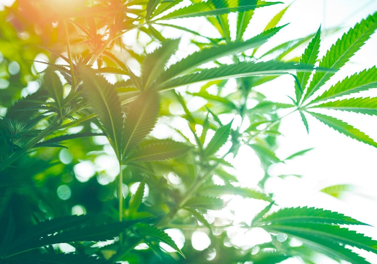 Cannabis seryna Life